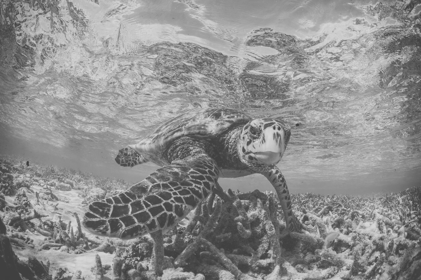 Meeresschildkröte am Riff des Soneva Fushi