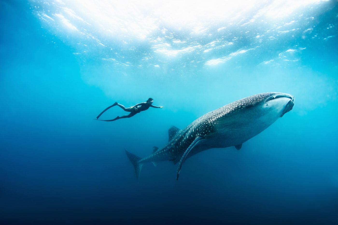 Apnoe-Taucher mit einem Walhai