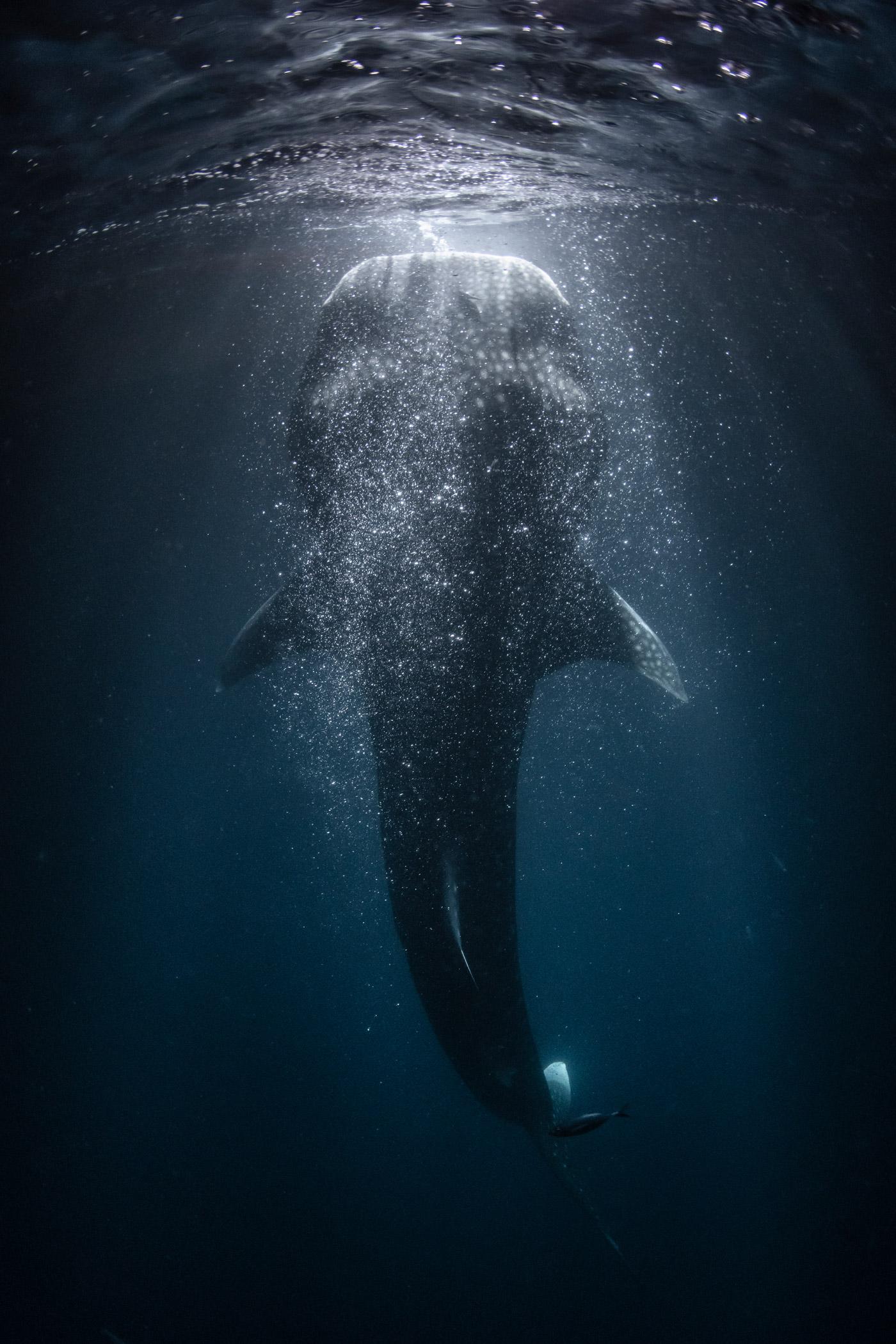 Unterwasseraufnahme von einem Walhai