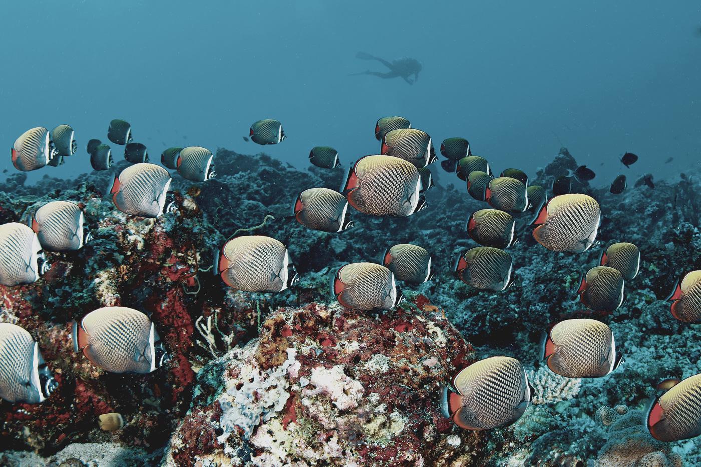 Fischschwarm am Riff des Kanuhura