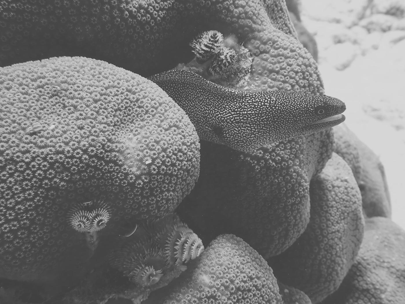 Muräne zwischen Korallen