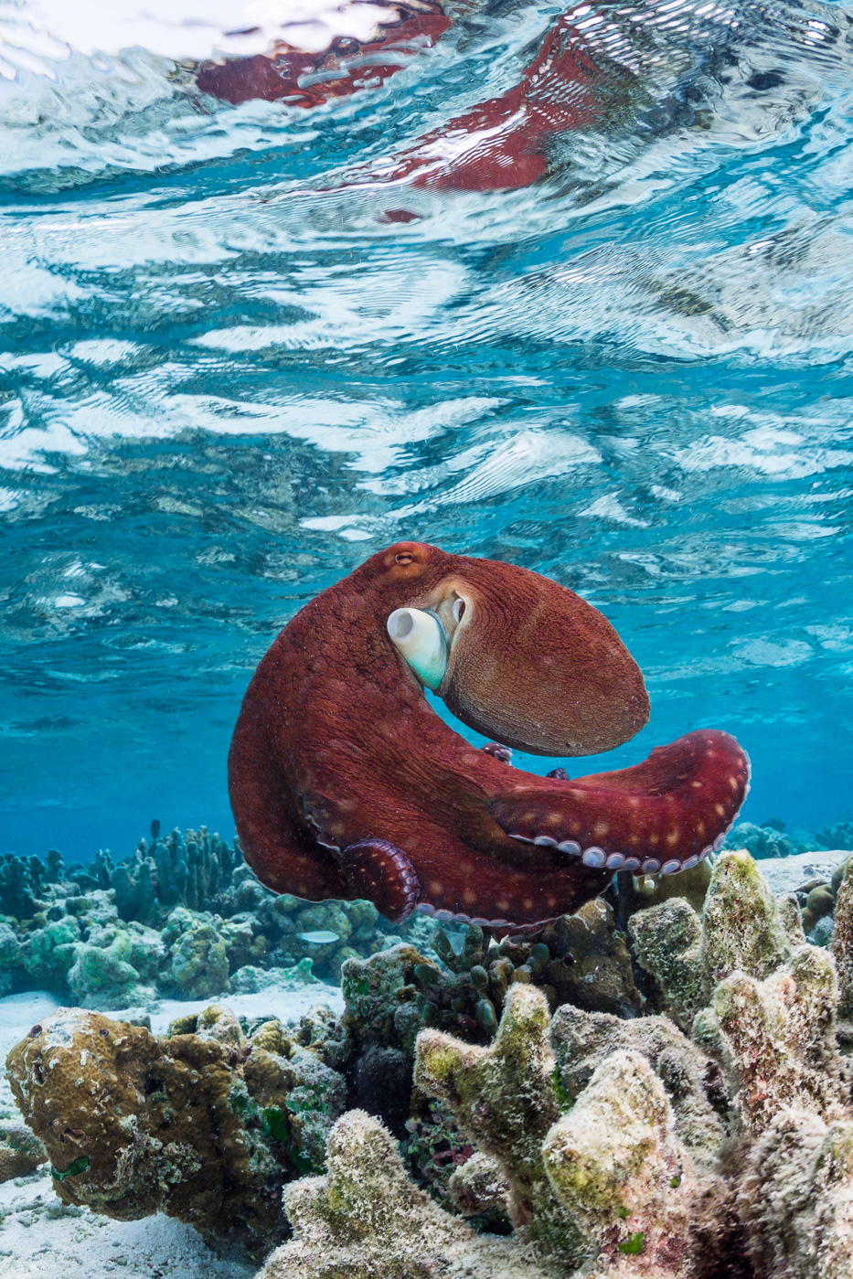 Oktopus am Riff des Soneva Fushi