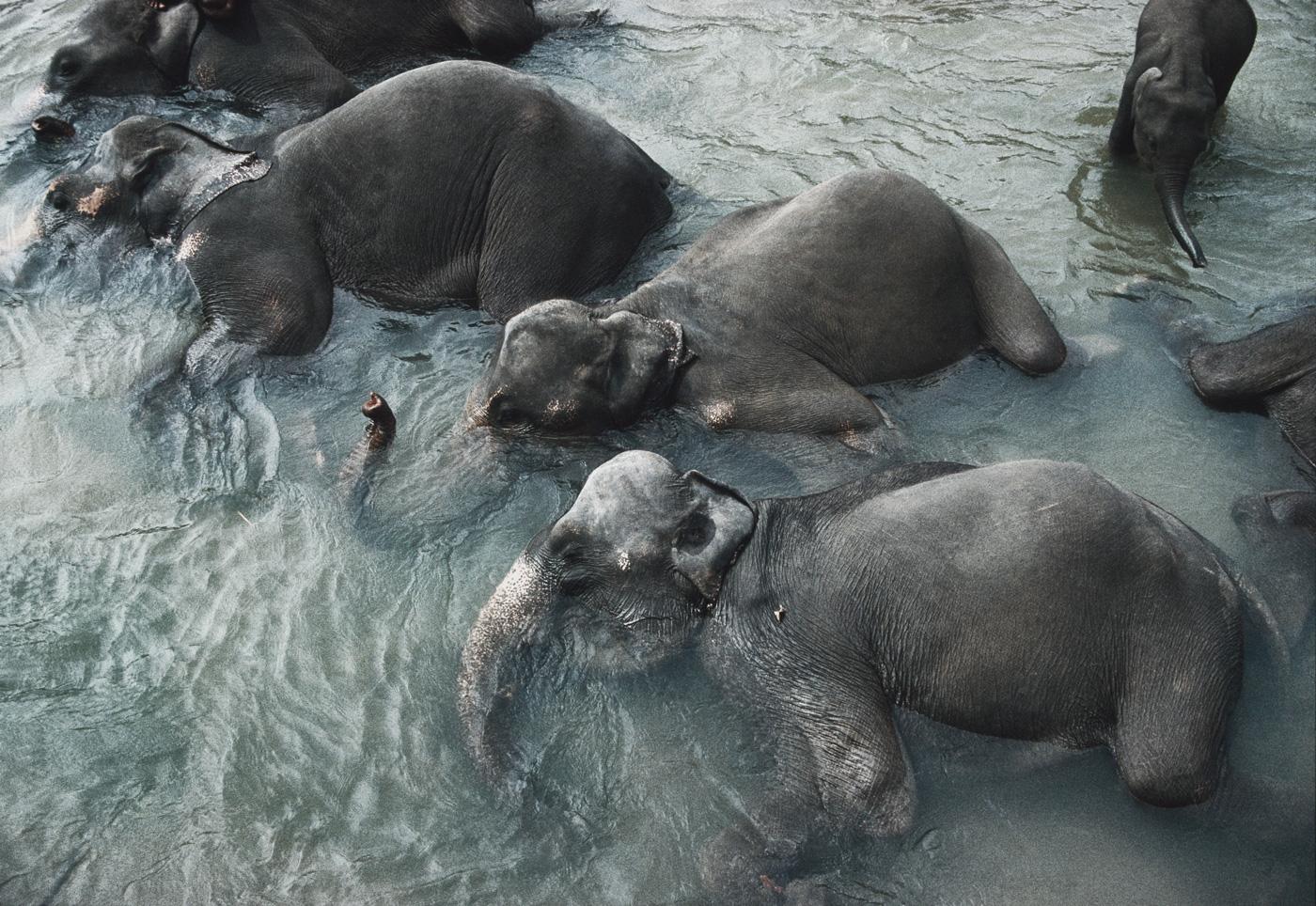 Elefanten baden in einem Fluss in Sri Lanka