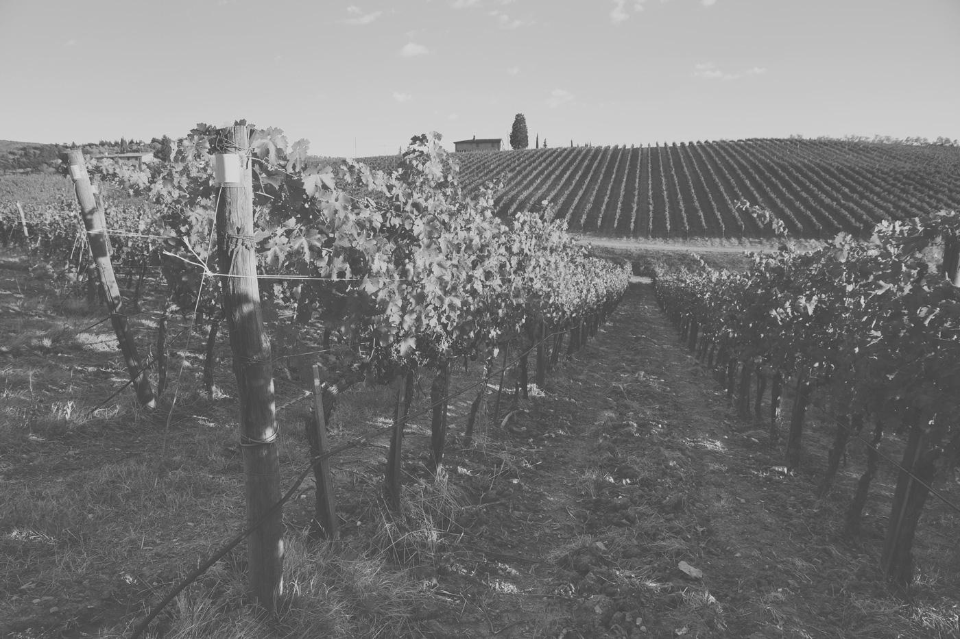 Wein-Rebstöcke in der Toscana